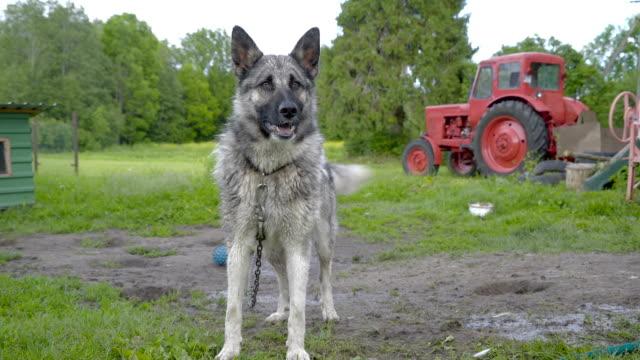 a big husky dog barking with a necklace - cane husky video stock e b–roll