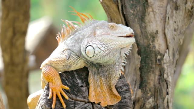 Big iguana sitting on a tree branch,Close-up video