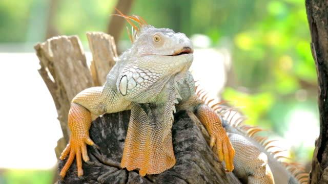 Big iguana,Close-up video