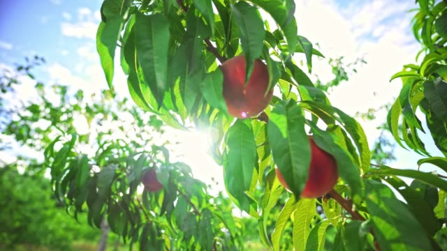 Big juicy peaches on the tree. Fabulous orchard. Fruits ripen in the sun