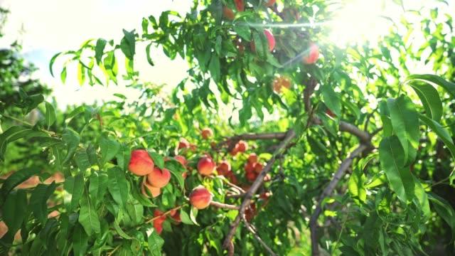 big juicy peaches on the tree. fabulous orchard. magical sunlight. fruits ripen in the sun. - brzoskwinia drzewo owocowe filmów i materiałów b-roll