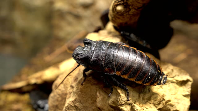 Big jungle cockroach on yellow stone video