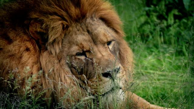 Big Lion Lies Down In The Grass