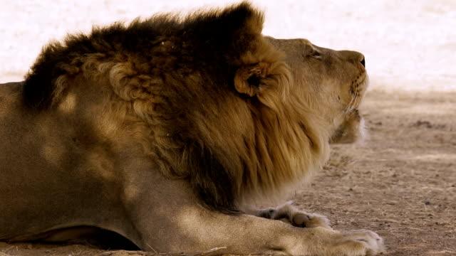 grande leone ruggente - pelo animale video stock e b–roll