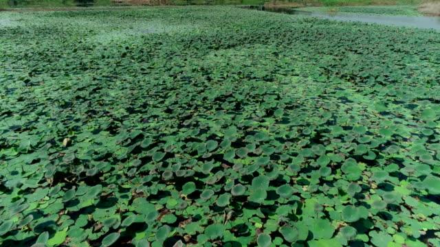 big lotus pond aerial shot by drone. - lilia filmów i materiałów b-roll