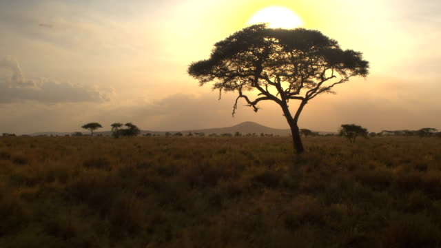 CLOSE UP: Big lush acacia tree against golden setting sun in African wilderness AERIAL, CLOSE UP: Flying forward towards silhouetted acacia tree in beautiful golden light sunset in pristine African savannah wilderness. Sun setting behind the canopy penetrating lush foliage tanzania stock videos & royalty-free footage