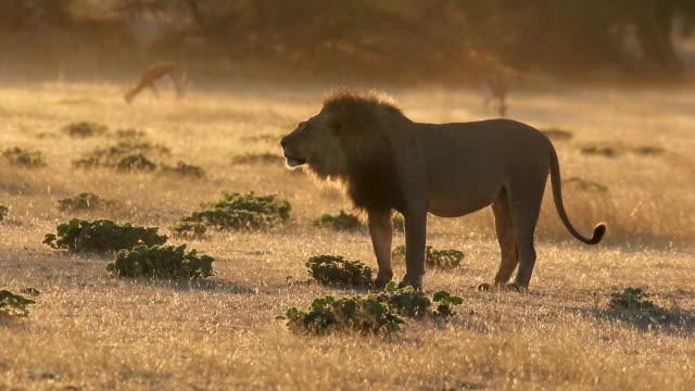 vídeos de stock, filmes e b-roll de grande leão macho rugindo - felino