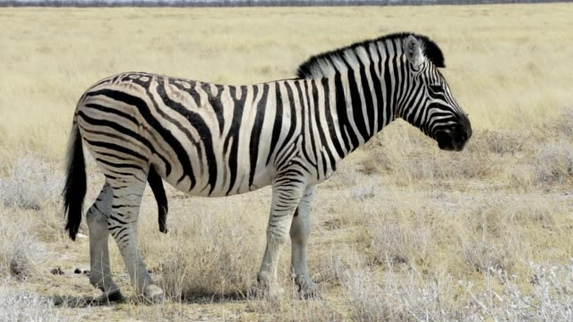 big male of zebra ready for mating in african bush - equino video stock e b–roll