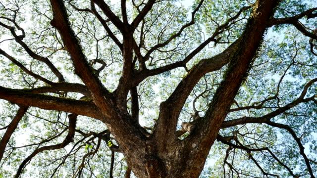 stora mimosa träd med solljus reglaget scen - gren plantdel bildbanksvideor och videomaterial från bakom kulisserna