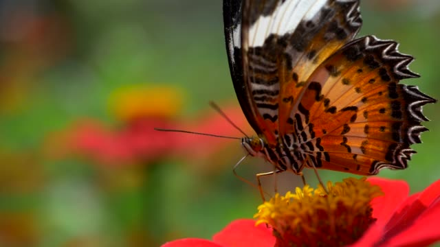Big Monarch butterfly feeding on pink flower. Close up slow motion high quality shot