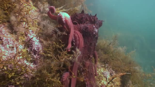 big octopus in the stone seabed in search of food. - octopus stock videos & royalty-free footage
