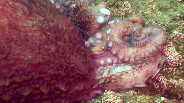 big octopus in the stone seabed in search of food. - sostanza tossica video stock e b–roll