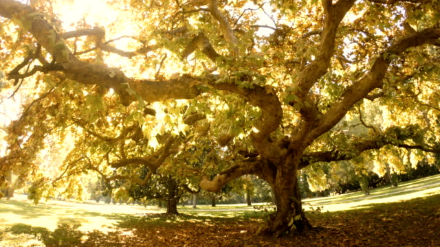 großer alter herbstbaum - ahorn stock-videos und b-roll-filmmaterial