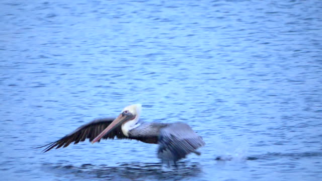 Big pelican takes off from water in super slow motion Professional video of big pelican takes off from water in super slow motion pelican stock videos & royalty-free footage