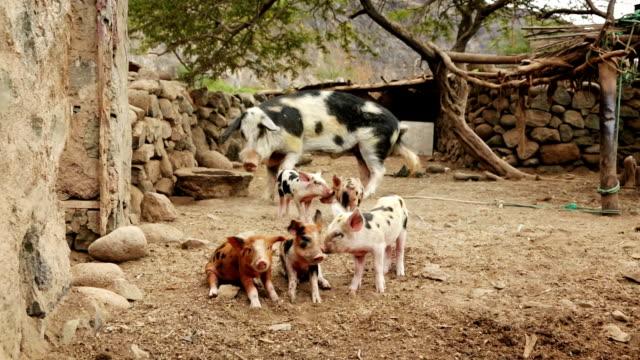 vídeos de stock, filmes e b-roll de porco família grande - animais da fazenda