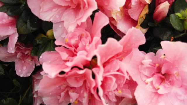 Big pink azalea flower bloom in garden at macau. Azaleas are shade tolerant flowering shrubs in genus Rhododendron.