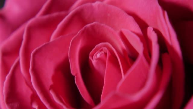 vídeos de stock, filmes e b-roll de big pink rose bud em macro - punhado