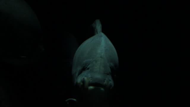 Big piranhas in dark water video