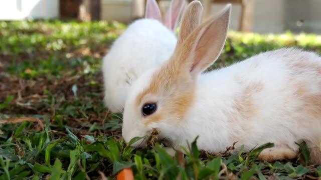 große kaninchen scramble frisst karotten kaninchen kleiner - karotte peace stock-videos und b-roll-filmmaterial