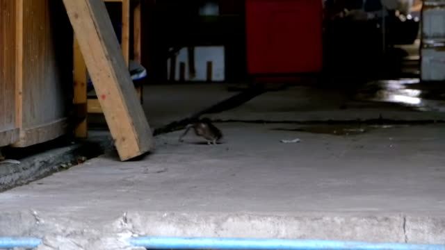 büyük sıçan yolun bakkal pazarında koşuyor. ağır çekim. asya, tayland - kemirgen stok videoları ve detay görüntü çekimi
