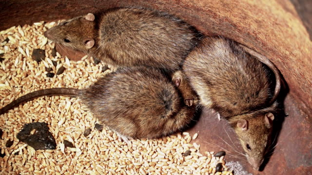 Big rats sitting on grain of wheat