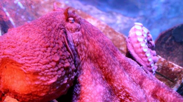 海の中の大きな赤タコ ビデオ
