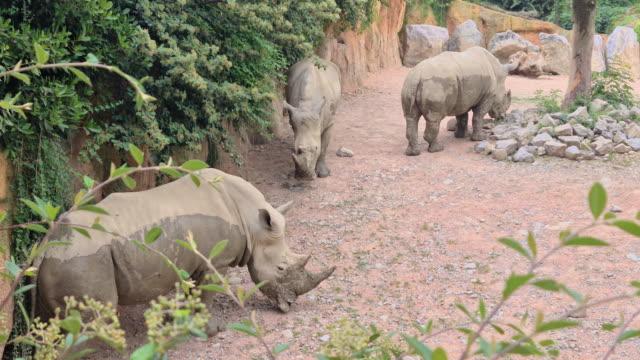Big Rhinocero in nature