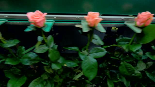 stockvideo's en b-roll-footage met grote roze stengels met roze half geopende toppen gaan op lijn van de fabriek. 4k. - floral line