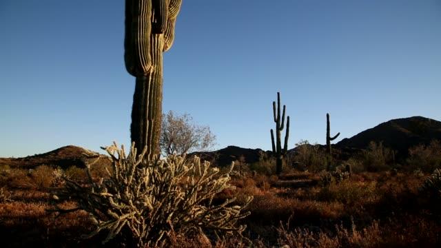 ソノラ砂漠に大きなサグアロ サボテン - オコティロサボテン点の映像素材/bロール