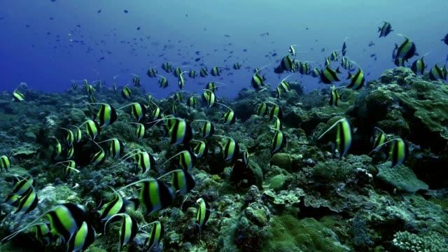 vídeos y material grabado en eventos de stock de gran escuela de peces mariposa de heniochus blanco y negro en coral reef - palaos