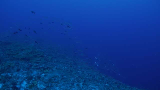 Big school of fish, barracuda, jackfish video