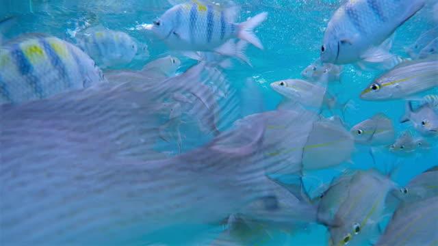 big school of fish feeding from boat on caribbean sea / belize - луциан стоковые видео и кадры b-roll