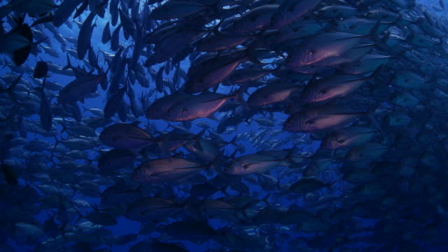 Big school of Giant Trevally fishes below sea surface (4K) video