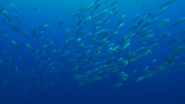 Big school of young Longfin tuna video