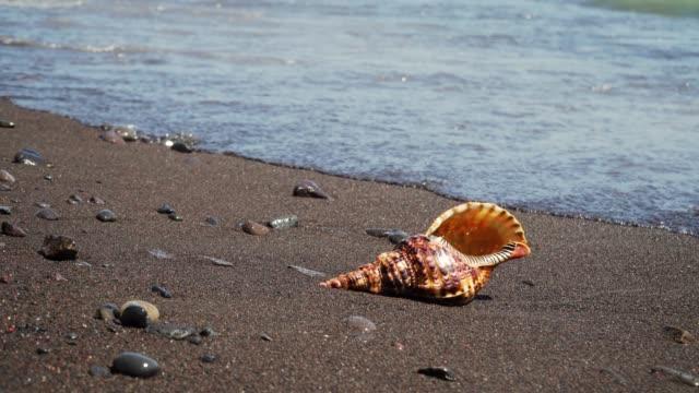 vídeos de stock e filmes b-roll de big seashell on the sand - bugio