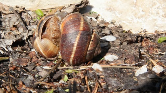 Big snails in the wild act of reproduction. Two grape snails mate video