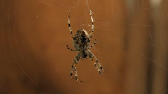 Big Spider On Web Eats