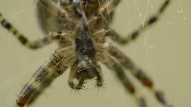 big spider väntar ett offer på en webbplats i trädgården - spindel arachnid bildbanksvideor och videomaterial från bakom kulisserna