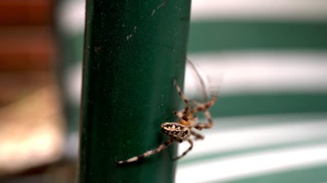 stor spindel går på dagen. stor spindel i en trädgård. makro skott - spindelväv bildbanksvideor och videomaterial från bakom kulisserna