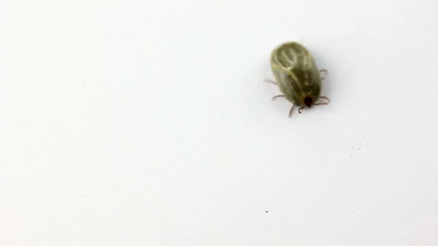 Big Ticks of dog random walk on white background. The Video record big Ticks of dog random walk on white background. flea insect stock videos & royalty-free footage