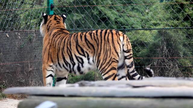 Big tigre. - vídeo