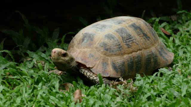 big tortoise - żółw lądowy filmów i materiałów b-roll