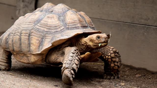 vidéos et rushes de grande tortue - tortue