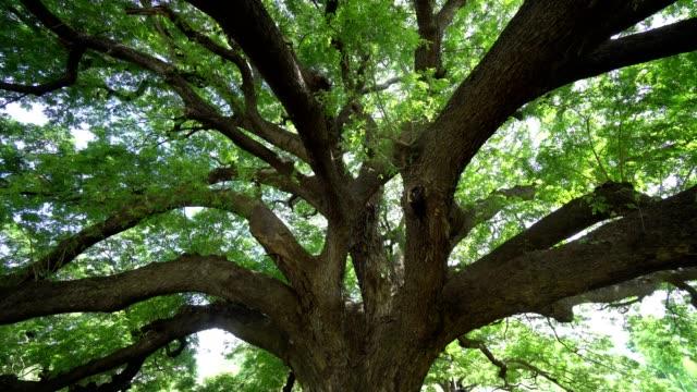 自然の森の中の大きな木。パンニングショット - ローアングル点の映像素材/bロール