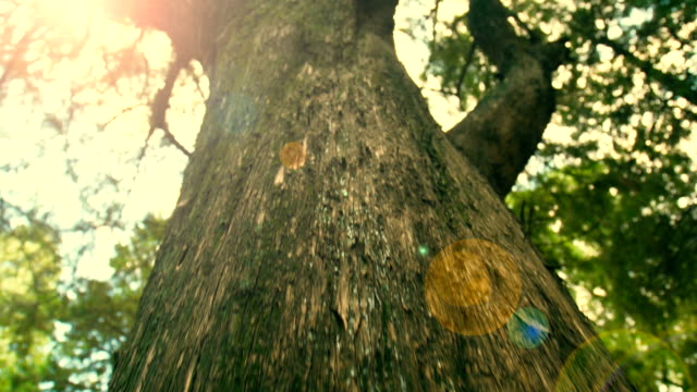 big tree trunk - albero tropicale video stock e b–roll
