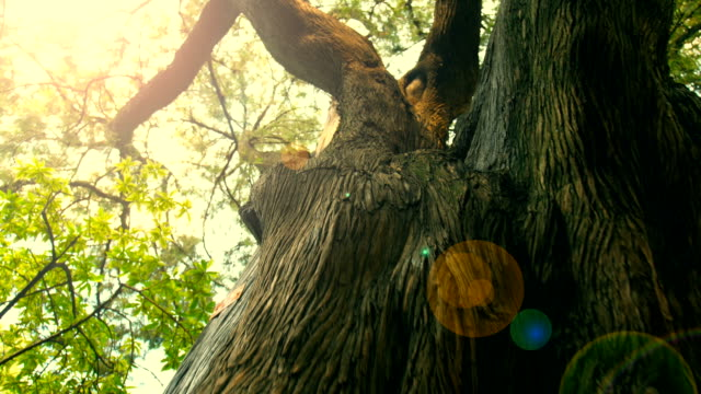 Big Tree Trunk Big Tree Trunk large stock videos & royalty-free footage