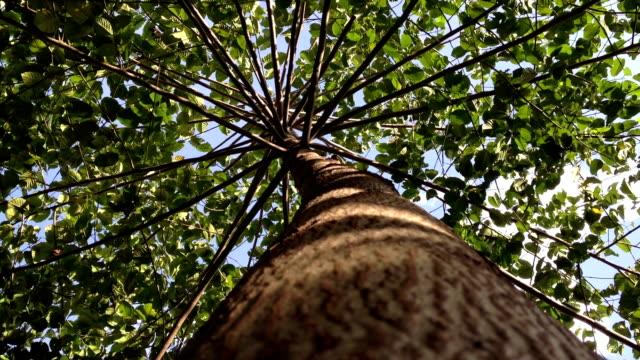big tree with branch under wind breeze video