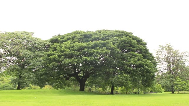 big trees, green grass lawn in a park , thailand video