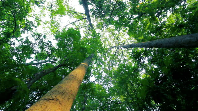 Big Trees in Thai National Park in dolly shot video