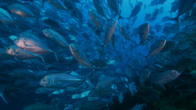 Big trevally fish ball in everywhere video